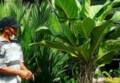 Bisnis Tanaman Hias Melonjak dan Rambah Marketplace