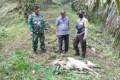 2 Ekor Lembu Milik Warga Bahorok Diduga Dimangsa Harimau