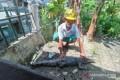 Dua Ekor Buaya Muara Masih Berkeliaran di Pantai Gunungsitoli