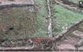 2 Harimau Sumatera di TMR Sembuh dari Covid-19, Kini 3 Petugas yang Merawat Jalani Swab Test